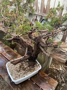 yamadori california juniper collected