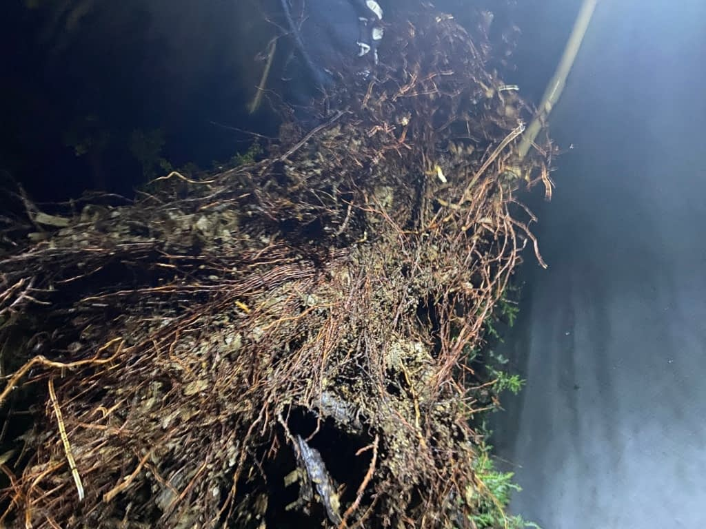 sawdust bed roots bonsai california juniper