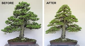before and after bonsai