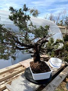 natesnursery-california-juniper-yamadori