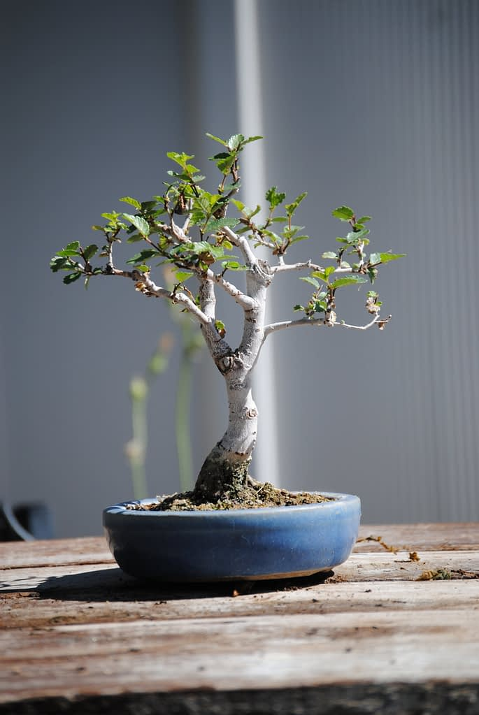 chinese elm bonsai for sale