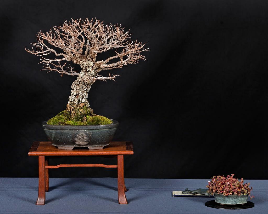 Corkbark Chinese Elm Bonsai Display