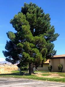 Mature Eldarica Pine Tree