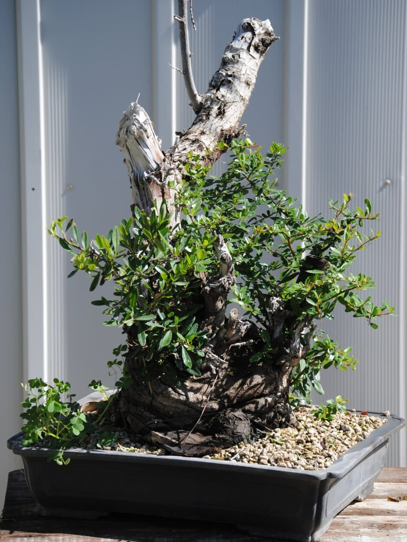 Pyracantha bonsai for sale